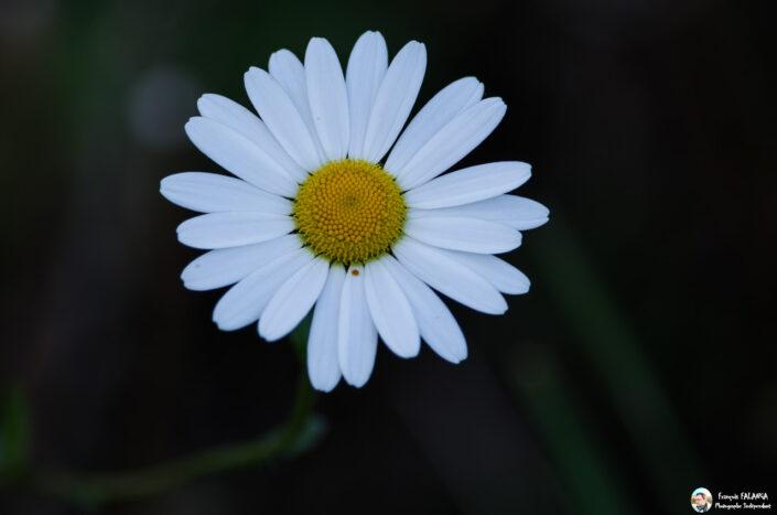 Fsai141003 08 Fleurs