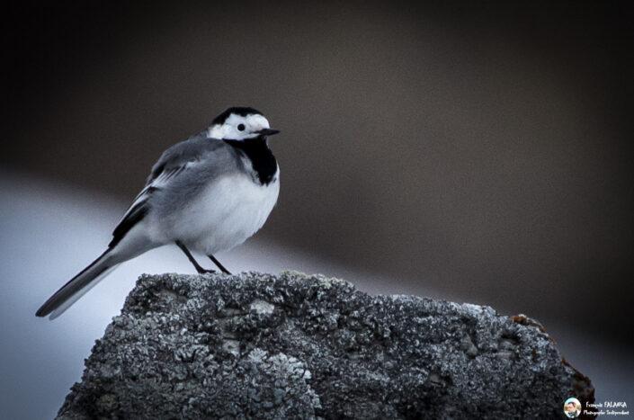 Fsai150320 12 Oiseaux