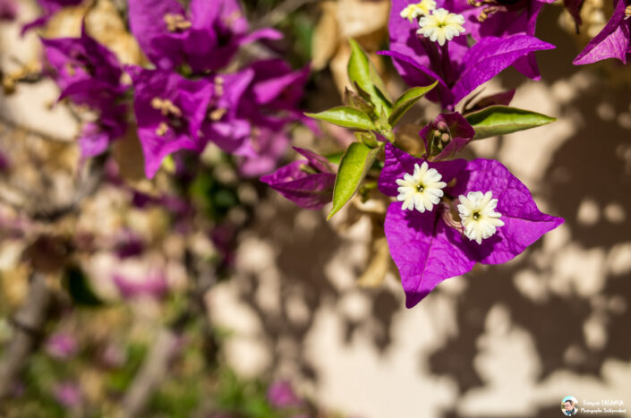 Fsai160828 12 Fleurs