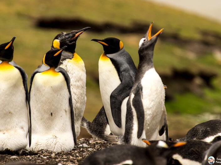 Fsai161211 05 Iles Falkland