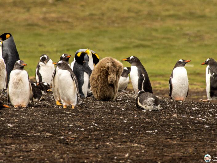 Fsai161211 08 Iles Falkland