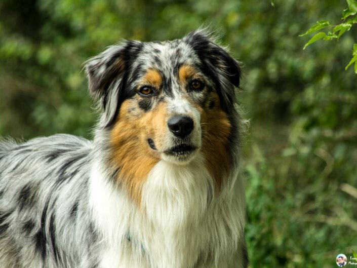 Loky-Australian Shepherd